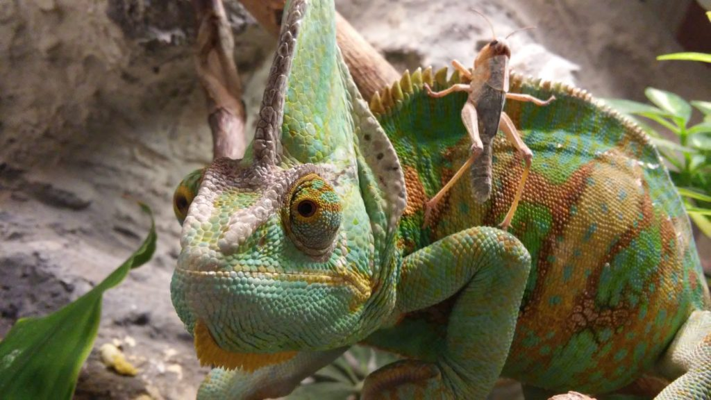 A starring chameleon that has a cricket on its back.