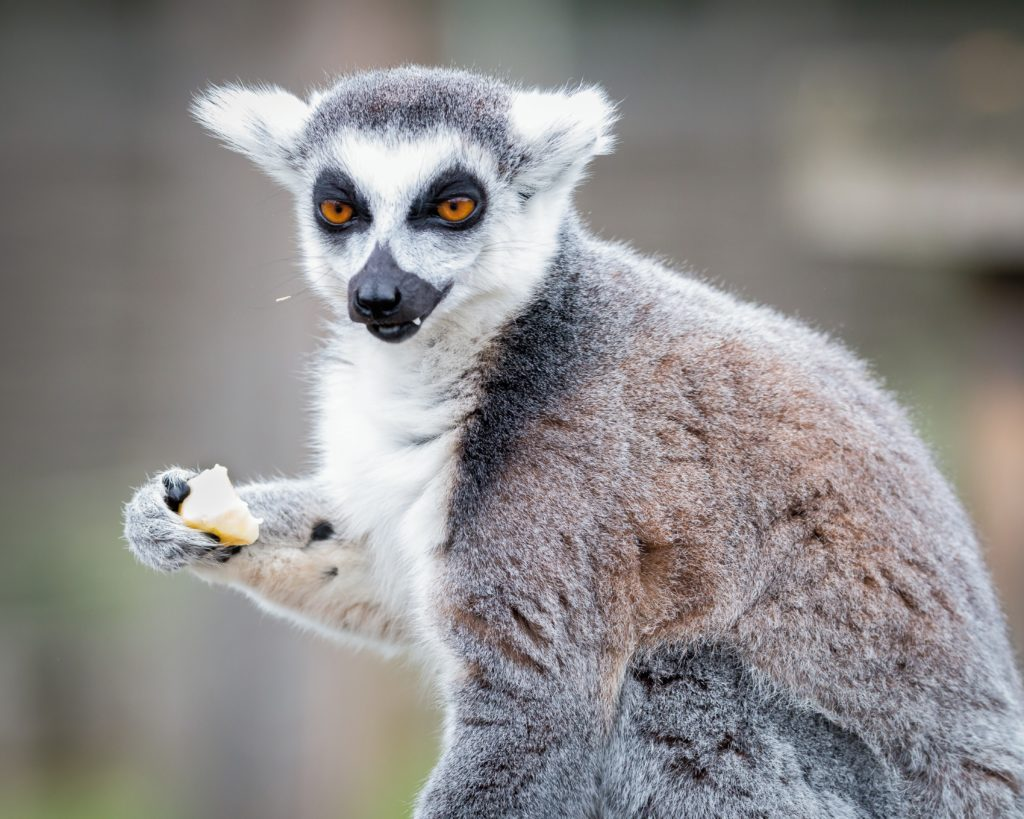 A lemur with a annoyed look on its face.